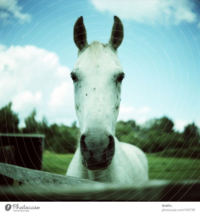 White Green Tree Summer Clouds Animal Eyes Meadow Grass Horse Ear Curiosity Fence Pasture Pet Mammal