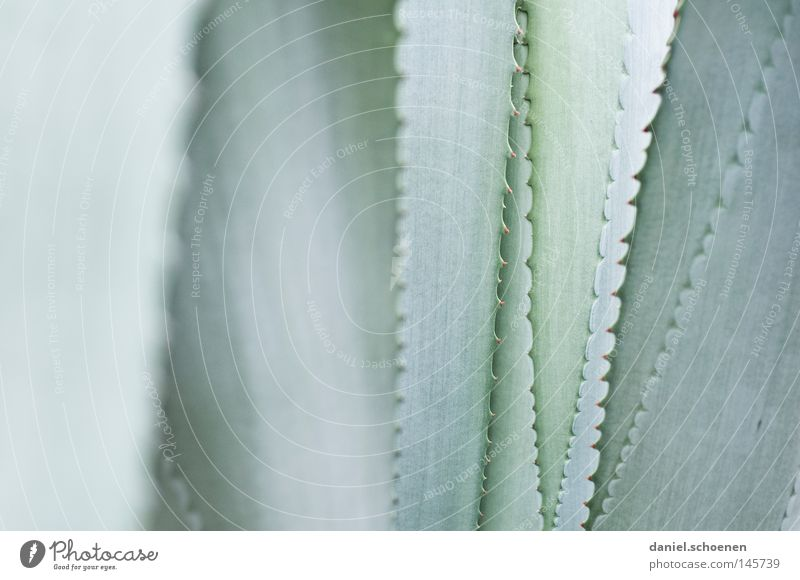 Green Colour Gray Background picture Abstract Macro (Extreme close-up) Desert Cactus Thorn Agave