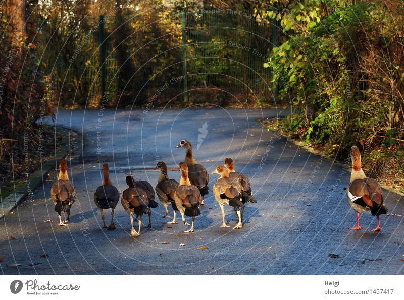 in Indian file... Environment Nature Landscape Plant Animal Winter Beautiful weather Bushes Lanes & trails Wild animal Bird Goose Group of animals Animal family