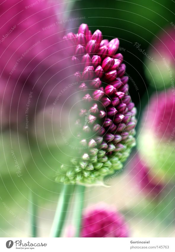 Nature Flower Green Plant Summer Blossom Spring Pink Environment Round Violet Macro (Extreme close-up) Depth of field Exotic Bud