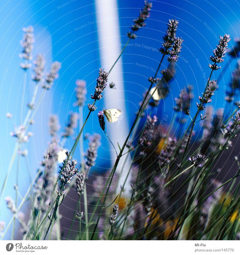 Blue Kitsch Baltic Sea Slide Lavender Medium format Medicinal plant Weed