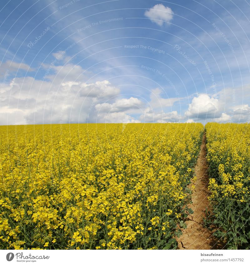 Rapeseed blossom - bee paradise or death trap? Landscape Earth Air Clouds Plant Agricultural crop Field Lanes & trails Resolve Growth Far-off places