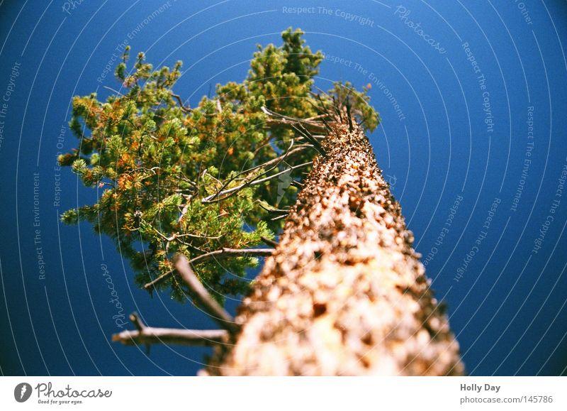 Sky Tree Green Blue Summer Life Above Line Brown Tall Broken USA Thin Fir tree Upward Tree trunk