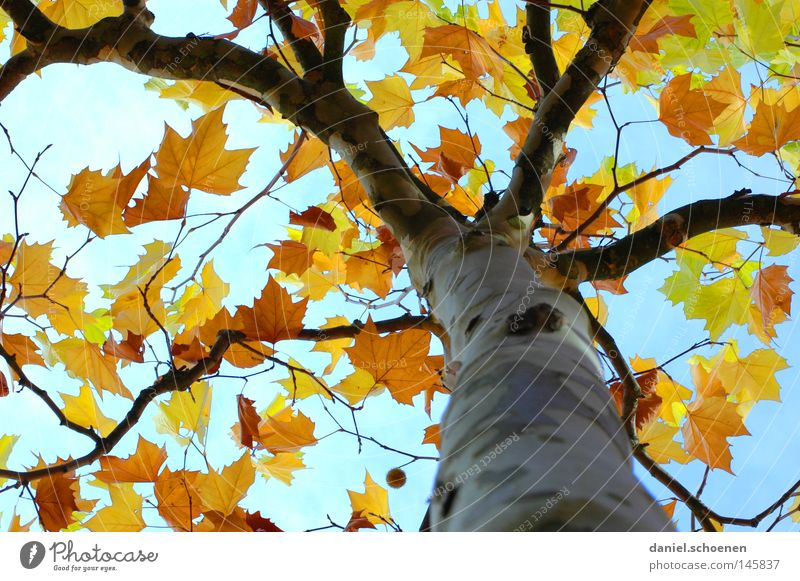Autumn 4 Tree Leaf Perspective Colour American Sycamore Branchage Twigs and branches Tree trunk Seasons Yellow Orange Brown Green Blue Cyan Sky