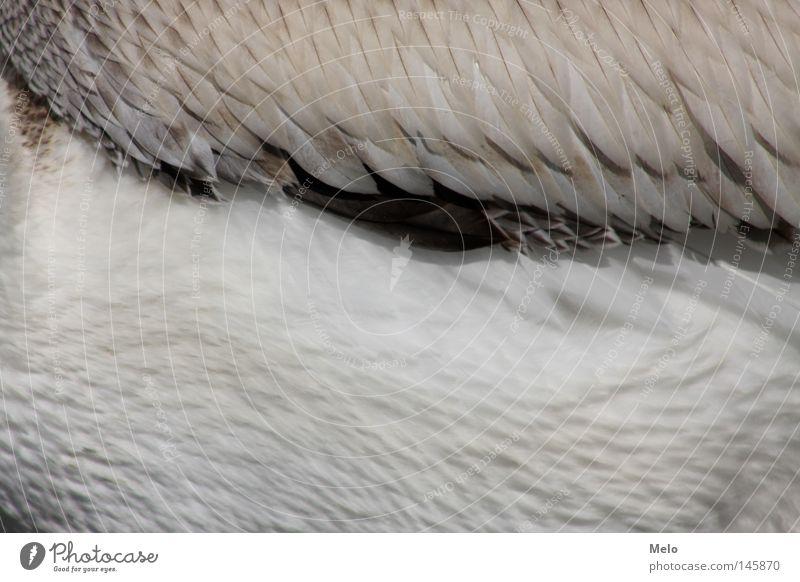 wenn sie fliegt... Pelican Detail Flesh fly Animal feder federn tier flügel gefieder freiheit ausschnitt flies