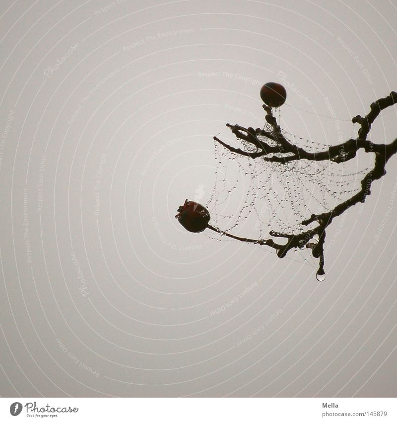 wetted Branchage Twigs and branches Berries Spider's web Drops of water Moistened Interlaced Gray Dreary Gloomy Fog Contrast Death Grief Dark Autumn Distress