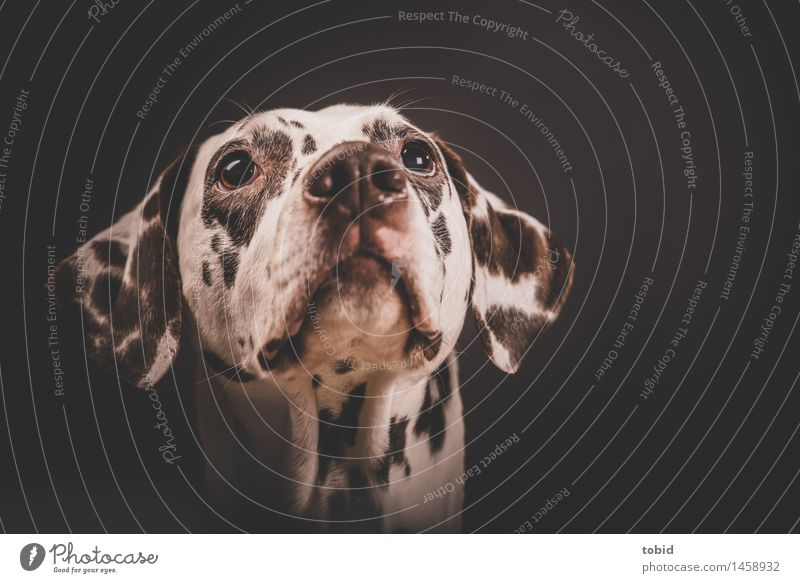 Dog Observe Soft Friendliness Near Pelt Pet Animal face Labrador