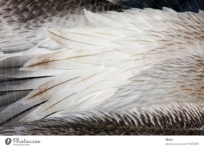 when she flies... SECOND Feather Pelican Detail Animal Bird