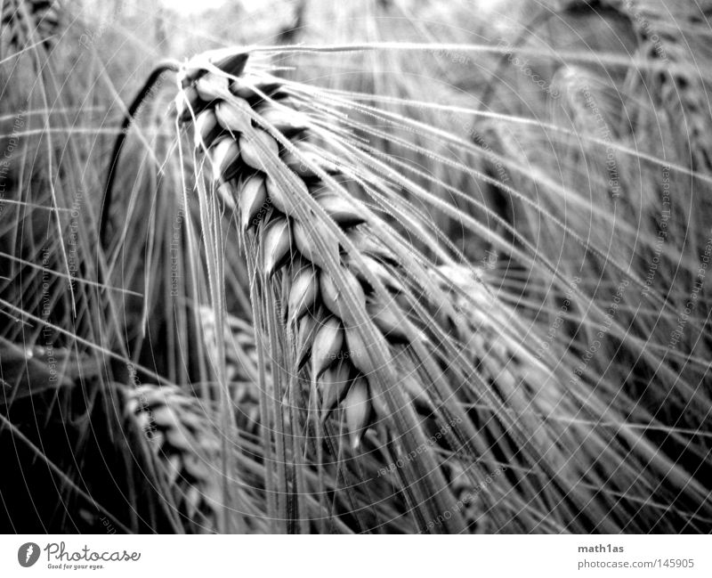 By my ear Ear of corn Meadow Oats Plant Black White Macro (Extreme close-up) Grain Black & white photo