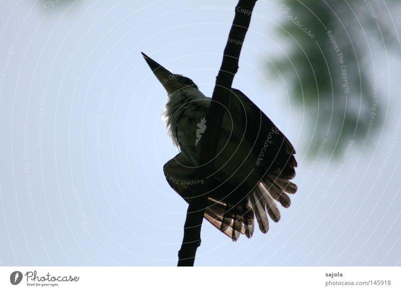 bitte jetzt nicht... Blue White Animal Black Bird Feather Branch Asia Hind quarters Virgin forest Beak Singapore Kingfisher