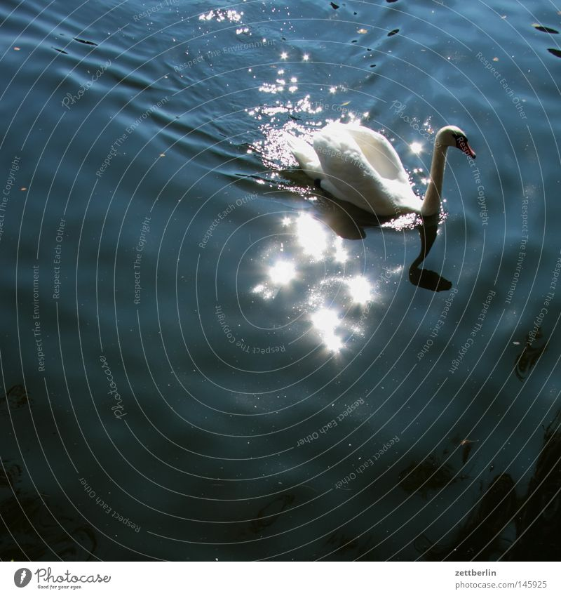 Water Sun Summer Lake Park Bird River Classical Mirror Pond Brook Surface Swan Body of water Channel Surface of water