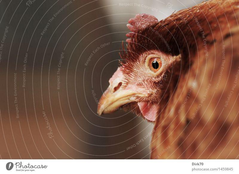Animal Black Brown Bird Pink Head Orange Fear Observe Agriculture Watchfulness Pet Animal face Beak Forestry Barn fowl