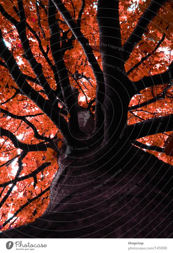 Nature Tree Red Leaf Black Forest Autumn Death Wood Brown Orange Fire Seasons Shriveled Tree bark Branchage