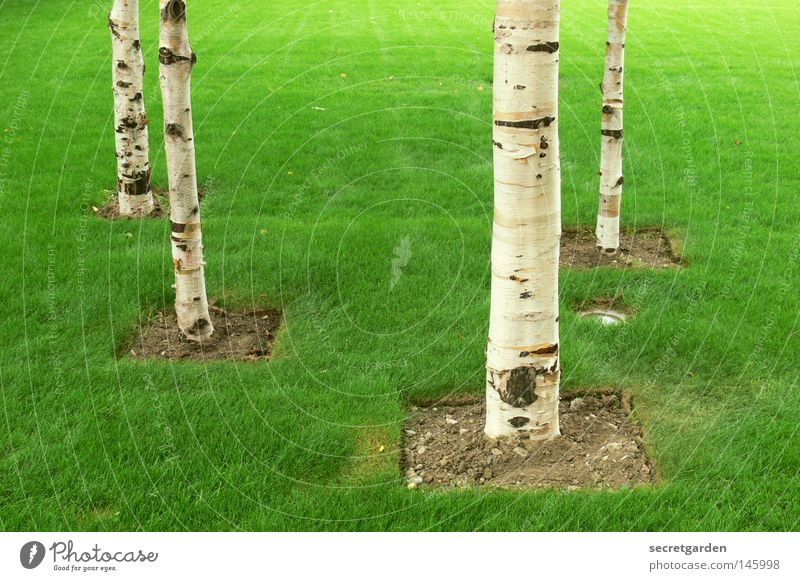 It's not getting greener, man! England Green Birch tree Tree Room White Square Conquer Arrangement Bans Playing Childless Park Great Britain Open Summer Spring