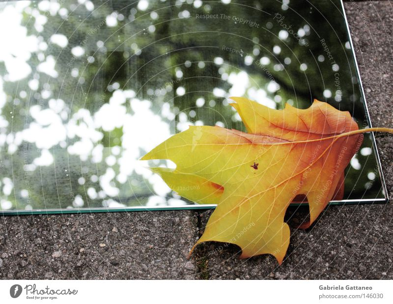 When autumn looks at itself in the mirror Mirror Autumn Winter Touch Leaf Yellow Gray Green Red Maple tree Tree Hissing Branchage Floor covering Multicoloured