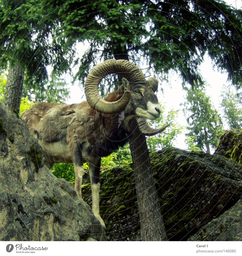 Aries Park Animal Pelt Spring Fir tree Buck Masculine Antlers Forest Green Tree trunk Gray Rock Switzerland Wilderness Wild animal Signs of the Zodiac Stand