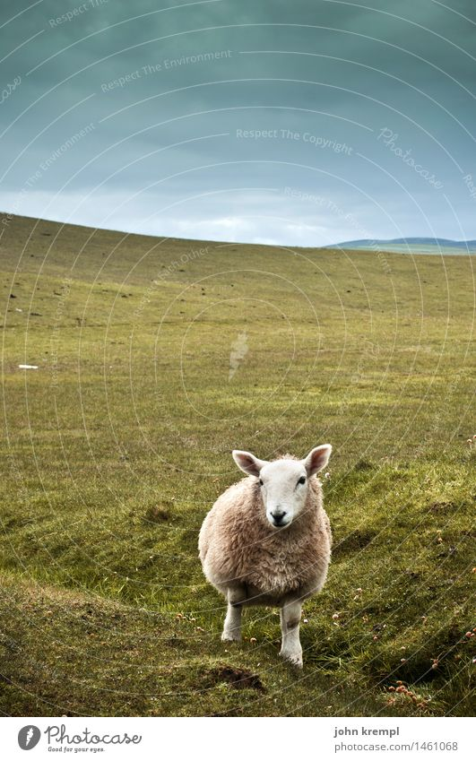 Sky Nature Green Landscape Loneliness Animal Grass Cool (slang) Hill Curiosity Serene Trust Watchfulness Environmental protection Sheep Expectation