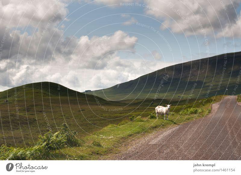 Hitchhiking Nature Landscape Summer Grass Highlands Scotland Street Lanes & trails Sheep 1 Animal Wait Optimism Patient Wanderlust Loneliness Considerate Help