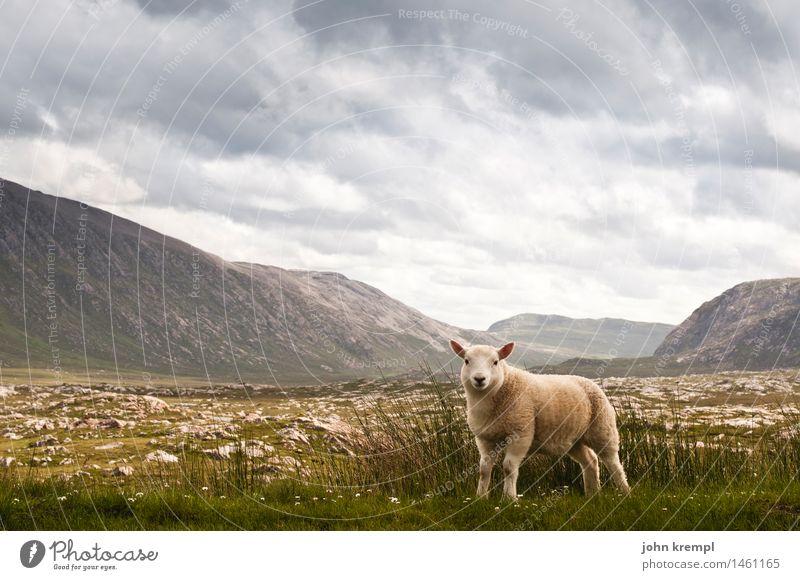 Sheep in original condition Clouds Storm clouds Summer Hill Mountain Highlands Scotland Deserted Farm animal 1 Animal Baby animal Looking Stand Friendliness