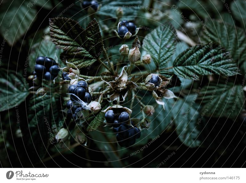 snack bar Berries Blackberry Fruit Nutrition Food Nature Growth Harvest Process Product Healthy Vitamin Leaf Blue Sense of taste Detail Macro (Extreme close-up)