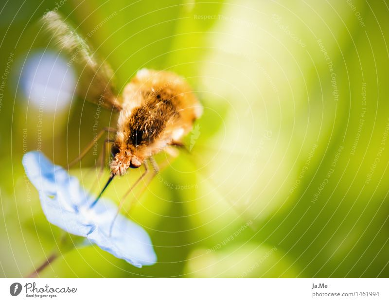 Lunchtime at the Hummelschweber Nature Plant Animal Spring Summer Beautiful weather Blossom Garden Wild animal Fly Wing Pelt Insect Dipterous Bumblebee Hover