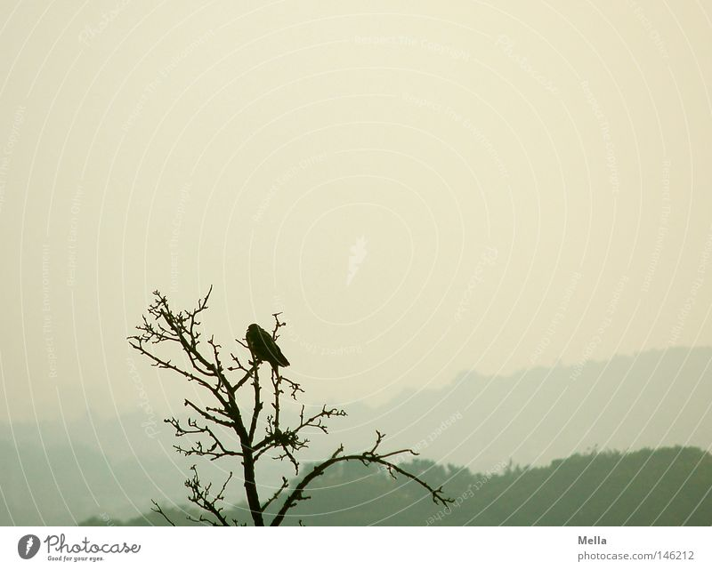 single Environment Nature Autumn Bad weather Fog Tree Animal Bird Crow 1 Crouch Sit Tall Natural Above Gloomy Gray Treetop Twigs and branches Bleak