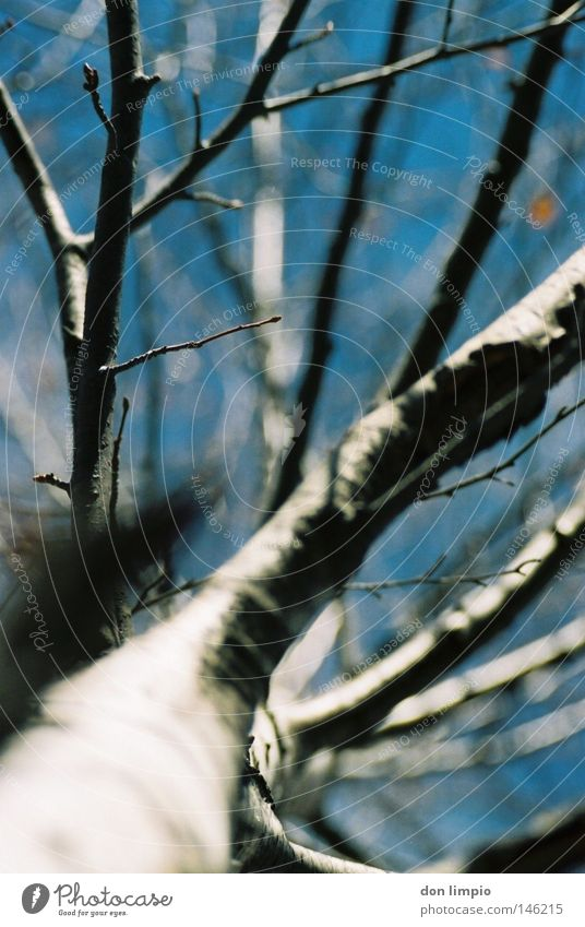 focus Tree Birch tree Sky White Blue Winter Autumn Cold Nature Leaf Branchage Tall Above Under Andorra Blur Depth of field Analog