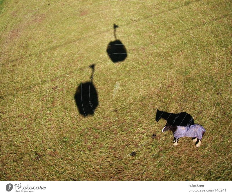 lonely horse Horse Shadow Meadow Green Lawn Mammal Shadow play Individual 1 Willow-tree Gondola Bird's-eye view Horse blanket Silhouette