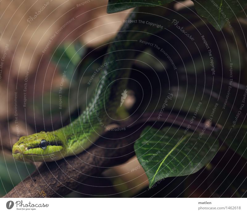 garden boa Zoo Bushes Animal Snake Animal face Scales 1 Threat Exotic Brown Yellow Green Black Branch Leaf Boa Colour photo Subdued colour Close-up Deserted