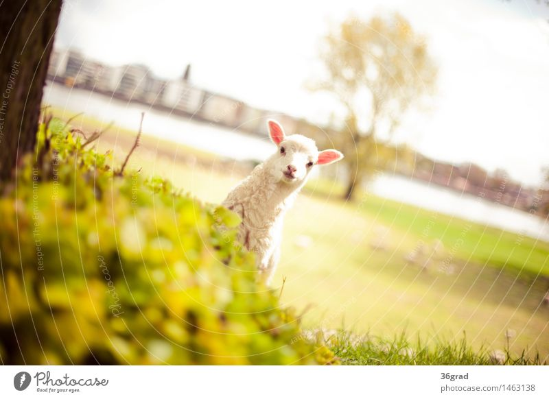 Look Look Nature Landscape Grass Meadow River bank Town Animal Farm animal Pelt Sheep Lamb 1 Baby animal Stand Brash Happiness Happy Cuddly Small Natural Crazy