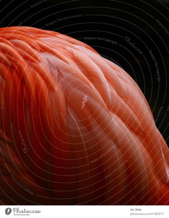 un beau plume rouge Dress Light Dream Feather Red Pink Glittering Glimmer Bird Autumn Phoenicopterus ruber ruber Flamenco Flames'n'go Flamingo