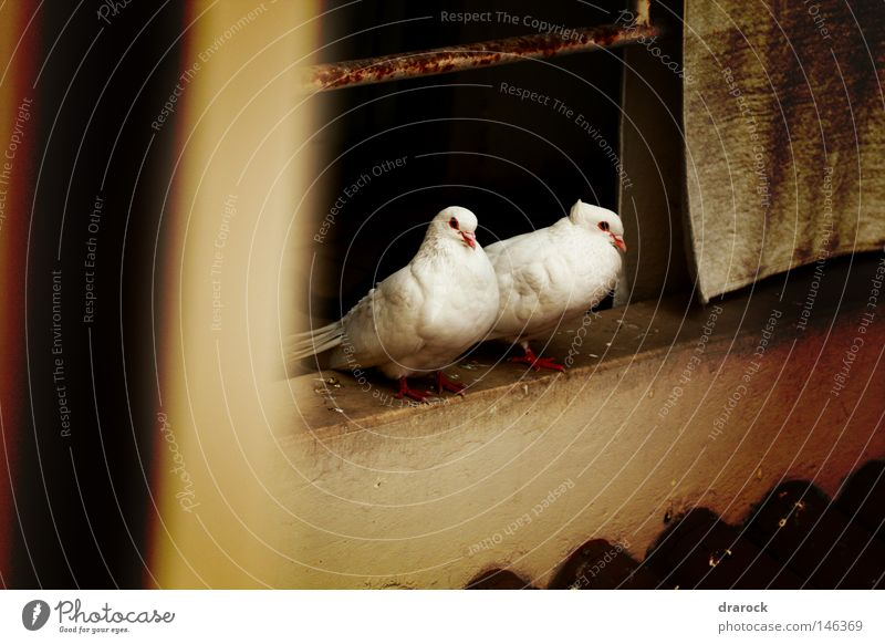 Doves in the balcony Animal Bird Peace Feather Wing Balcony Pigeon