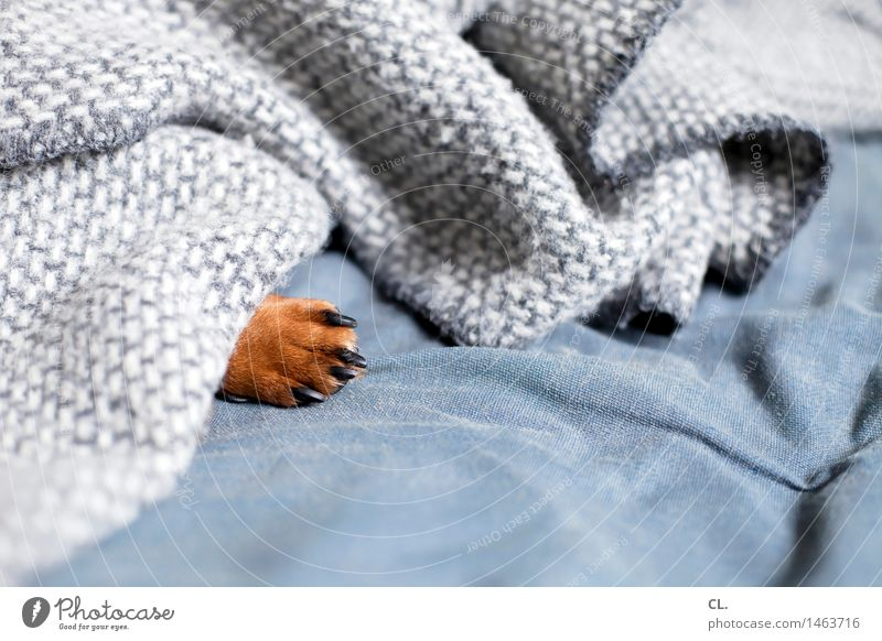 paw Living or residing Flat (apartment) Sofa Animal Pet Dog Claw Paw Dachshund 1 Blanket Relaxation Sleep Small Cute Brown Gray Safety (feeling of)