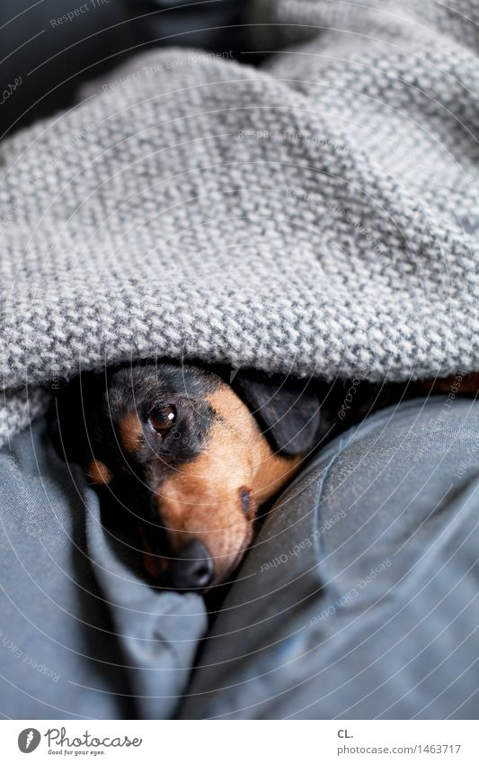doggedly overslept Living or residing Flat (apartment) Sofa Animal Pet Dog Animal face Dachshund 1 Blanket Relaxation Sleep Cute Safety (feeling of)