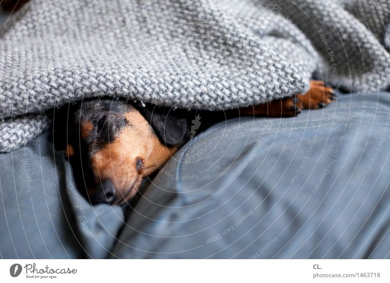 sleep late Living or residing Flat (apartment) Sofa Animal Pet Dog Animal face Paw Dachshund 1 Blanket Relaxation Lie Sleep Cute Brown Gray Contentment