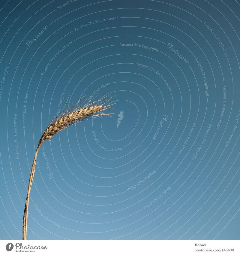Sky Nature Blue Plant Yellow Warmth Grass Earth Field Gold Food Growth Nutrition Agriculture Physics