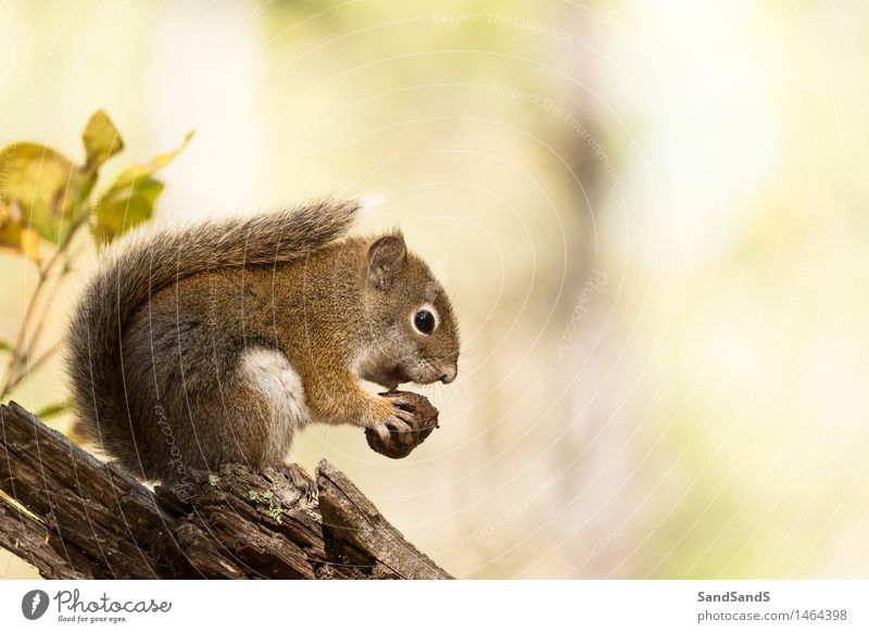 American red squirrel Nature Beautiful Tree Red Animal Forest Yellow Autumn Funny Brown Wild animal Nutrition Cute USA Animal face Mammal