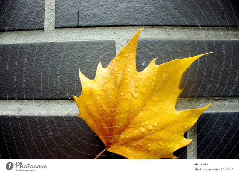 The golden leaf Contrast Drops of water Autumn Rain Leaf Brick Yellow Gold Indian Summer Maple tree Wall (building) Seam Tilt