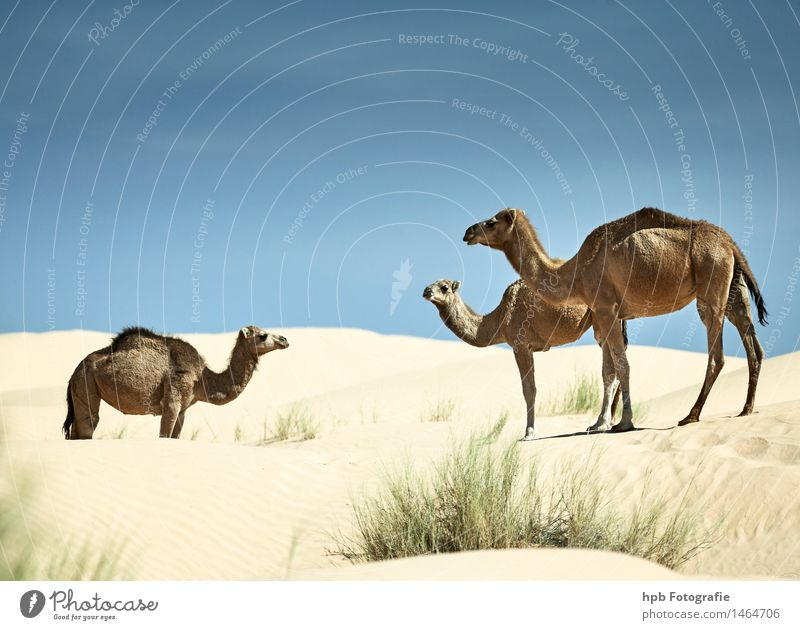 camels Vacation & Travel Tourism Trip Adventure Safari Expedition Nature Landscape Animal Sand Warmth Drought Desert Dromedary Camel 3 Group of animals Herd