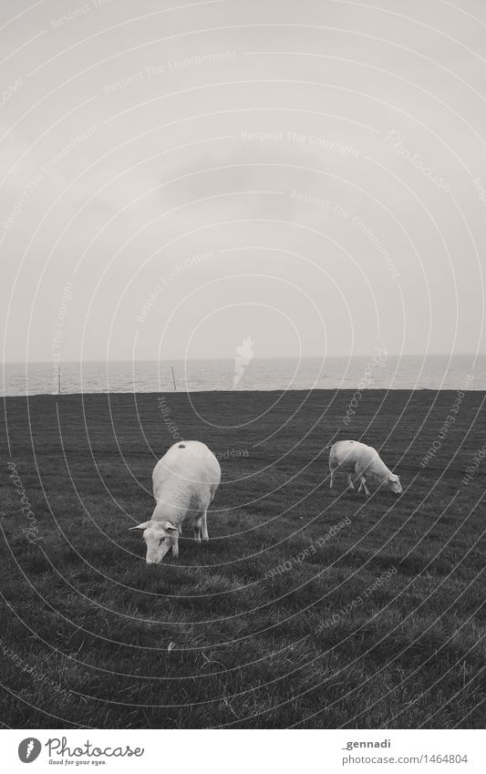 Määh Farm animal Sheep 2 Animal Feeding To feed Meadow Horizon Ocean Lawnmower Black & white photo Exterior shot Deserted Copy Space top Copy Space bottom Day