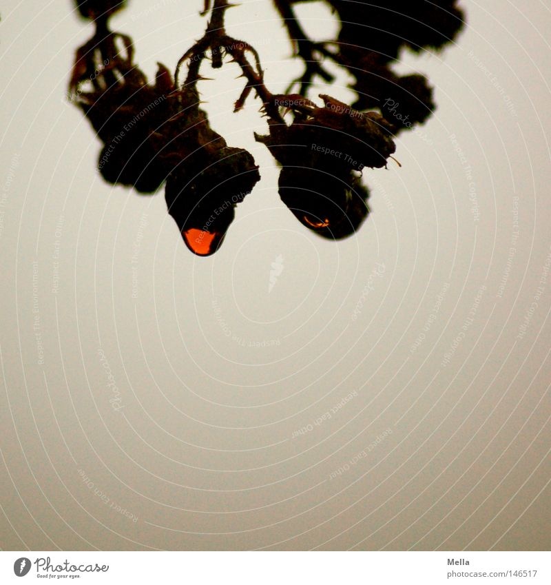 Nature Plant Red Dark Gray Environment Wet Drops of water Grief Gloomy Transience Natural Exceptional Hang Mystic