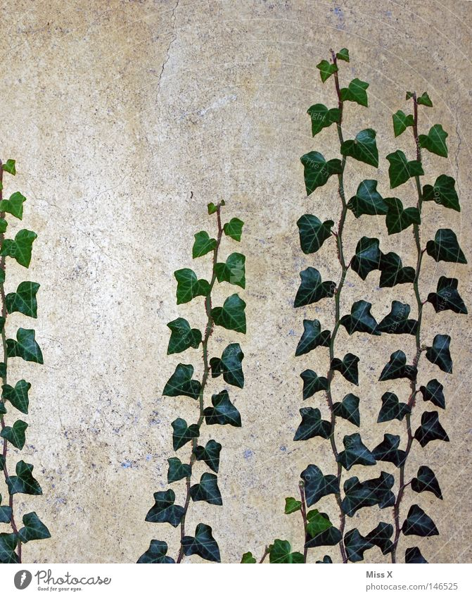 It grows Colour photo Exterior shot Upward House (Residential Structure) Plant Ivy Leaf Wall (barrier) Wall (building) Facade Stone Growth Gray Green Tendril