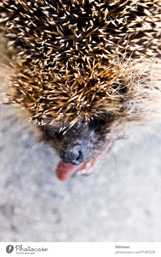 a hedgehog dog or a hedgehog bitch? Hedgehog Tongue Brash Nose Spine Head Animal Floor covering Ground Asphalt Thorny