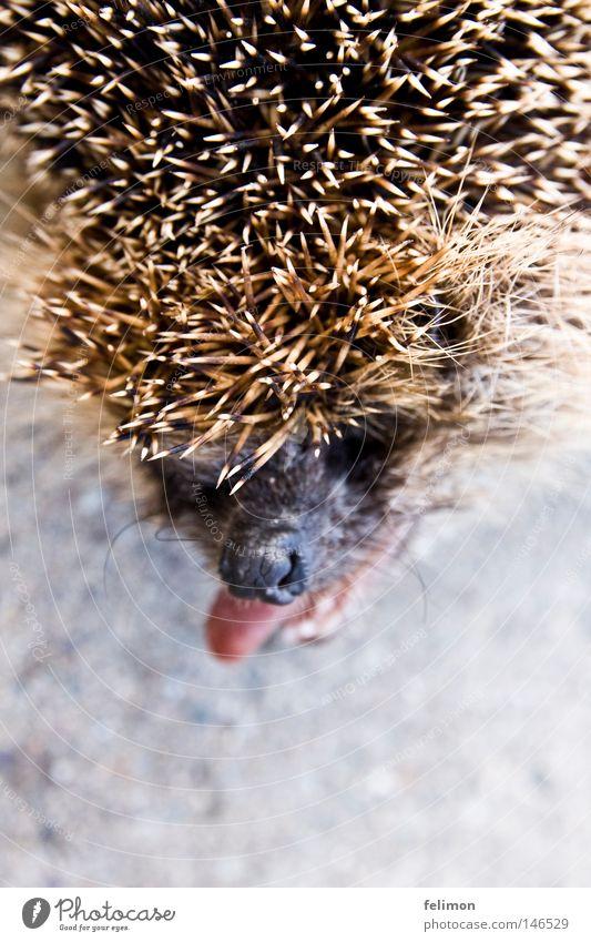 a hedgehog dog or a hedgehog bitch? Hedgehog Tongue Brash Nose Spine Head Animal Floor covering Ground Asphalt Thorny