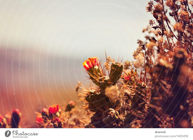 Blooming Nature Plant Blossom Wild plant Hill Mountain Canyon Beautiful Small Cute Point Cactus Cactus flower Cactus field drarock Colour photo Exterior shot