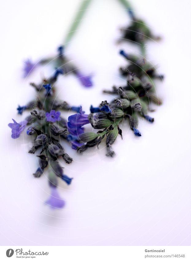 Nature Blue White Beautiful Plant Flower Summer Colour Blossom Spring Healthy Fresh Soft Peace Violet Tea