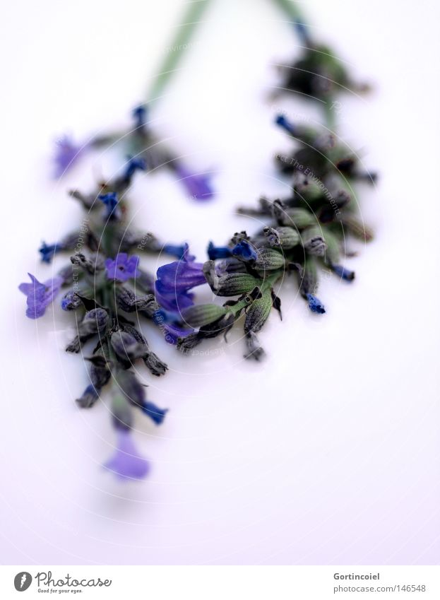 Nature Blue White Beautiful Plant Flower Summer Colour Blossom Spring Healthy Fresh Soft Peace Violet Tea