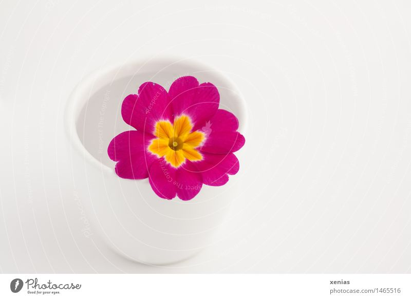 Pink primrose lies in a white cup with water in front of a white background Primrose Blossom Spring Yellow White pretty Vase Cowslip plants Copy Space right