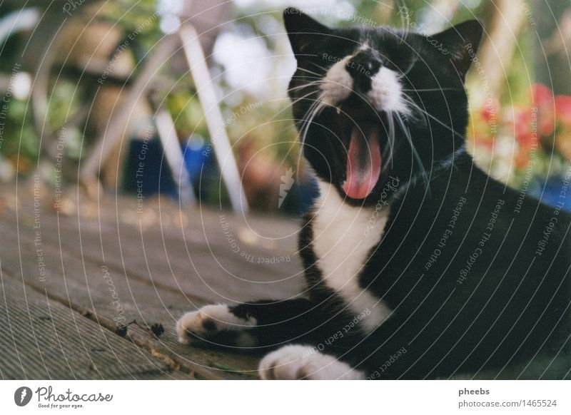 Cat Vacation & Travel Summer White Animal Black Autumn Garden Table Terrace Domestic cat Paw Wooden floor Yawn