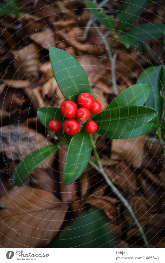 Chinese holly Plant Autumn Bushes Leaf Foliage plant Exotic Holly Ilex Berries Garden Round Brown Green Red Nature Colour photo Exterior shot Close-up Detail